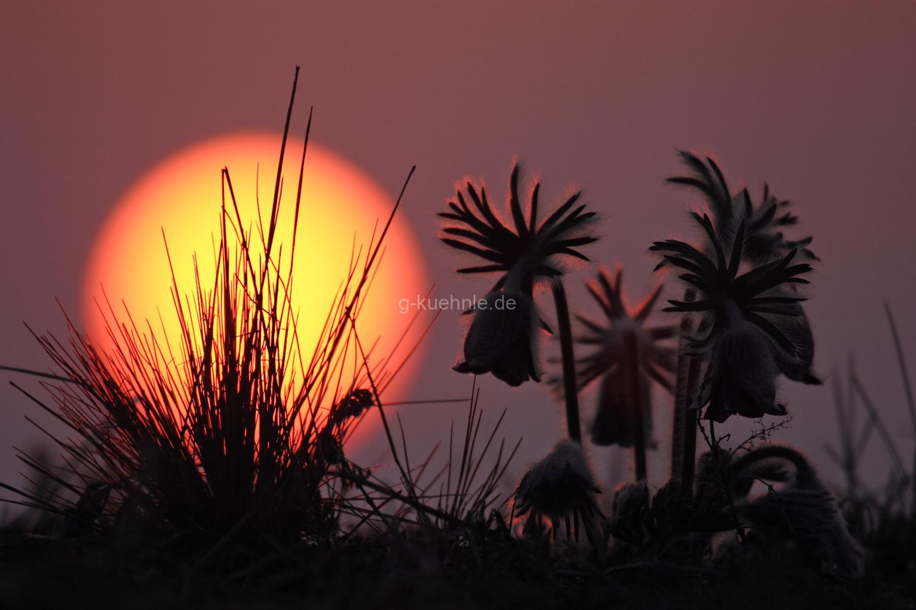 Wiesen-Kuhschelle (Pulsatilla pratensis) - vor aufgehender Morgensonne