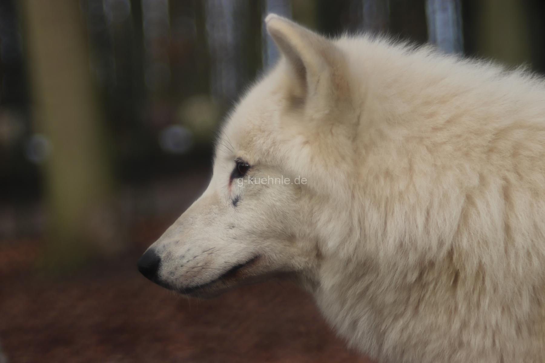 Weißer Wolf, Tierpark Stralsund